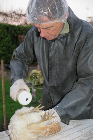 Lice treatment on a hen contamination in the farm