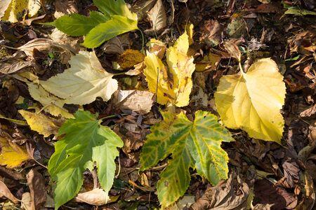autum: Autum maple leafs in the garden one morning