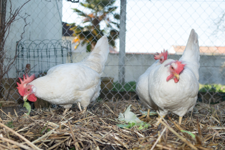 leghorn: White chickens farm, real scenery at pool house