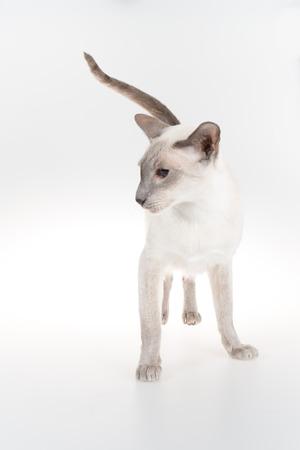 oriental white cat: Oriental Blue-point siamese cat on white background Stock Photo