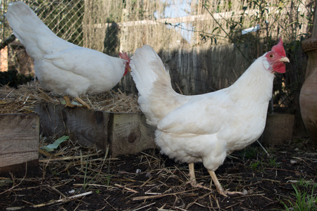 leghorn: Chicken hen that is white on a brown and green grass