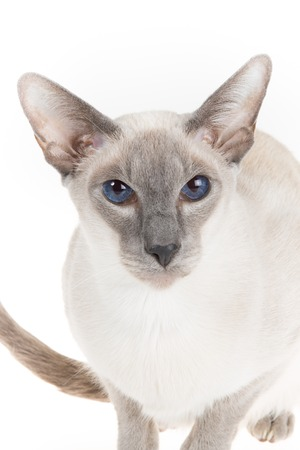 nobleness: Cute hairless oriental cat close up, isolated on white Stock Photo