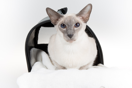 oriental white cat: Oriental Blue-point siamese cat posing on white background
