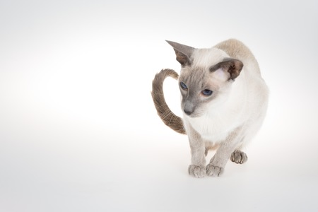 oriental white cat: Oriental Blue-point siamese cat sitting on a white background