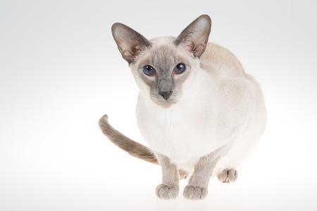 oriental white cat: Oriental Blue-point siamese cat. Close-up portrait on a white background