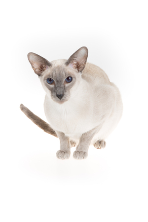 oriental white cat: Oriental blue-point Siamese cat isolated on white Stock Photo