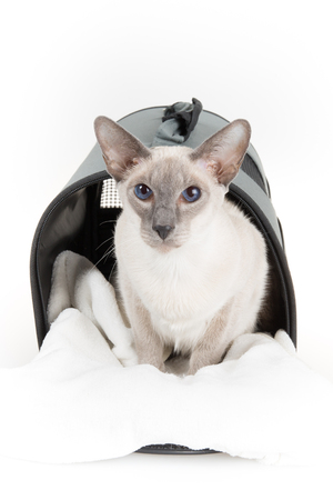 oriental white cat: Close-up of an Oriental Shorthair cat, against white background