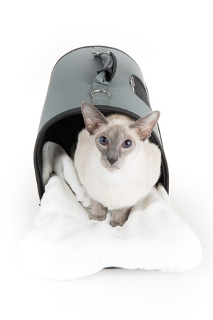 oriental white cat: Oriental Blue-point Siamese cat lying on a white background Stock Photo