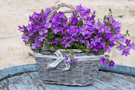 violets: Grey basket with a flowers violets -Harvest, agriculture