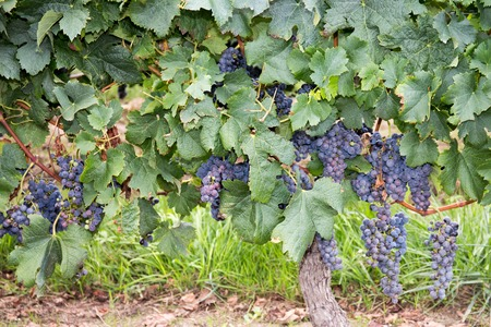 purple red grapes: Purple red grapes with green leaves fresh fruits Stock Photo
