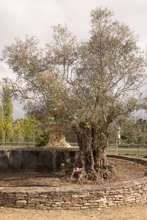 centennial: Beautiful old tree, centennial olive trunk in a garden