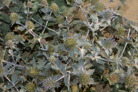 stabilize: Sand Dune Thistle - Blue thistle blooming on the French Atlantic coastline. Helps stabilize the dunes against erosion.