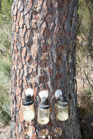 outflow: Bags attached to a pine tree collecting the Resin