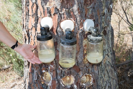 distillate: Extraction of natural resin from pine tree trunks