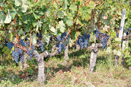 wineyard: Grapes-Bordeaux Wineyard autumn Stock Photo