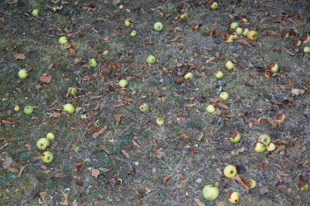 rotting: Yellow rotting apples in the green grass. Seasonal natural Stock Photo