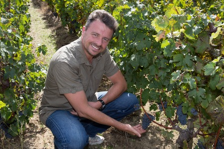 winemaker: Handsome winemaker in vineyard picking blue grapes