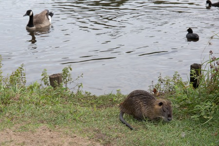 nutria: Coypu (Myocastor coypus), also known as the nutria (Ragondin in french)