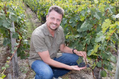 Handsome winemaker at family vineyard picking grapes