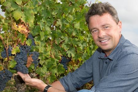 winemaker: Winemaker Man Harvesting Grapes in the Vineyard