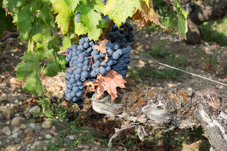 bunches: Bunches of red wine grapes hanging on the wine