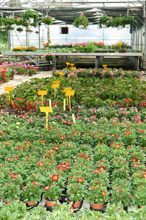 nurseryman: Multiple colorful flowers are for sale in a commercial garden center