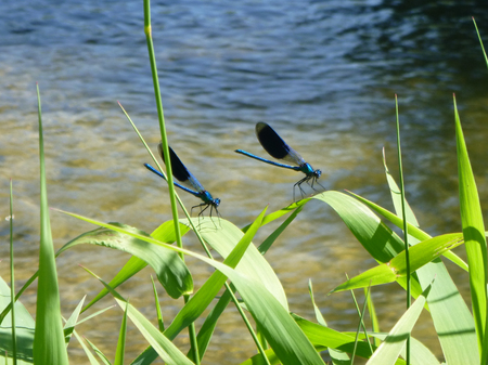arise: dragonflies arise on the blades of grass along the river Stock Photo