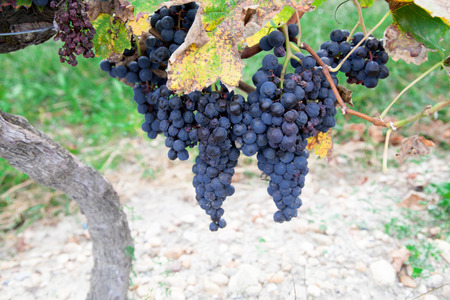 bunches: Vines with bunches of red grapes Stock Photo
