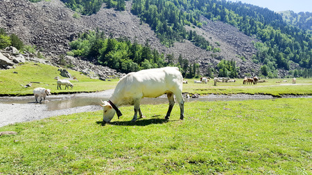 cows free in the mountains of pyrenées during the summer in france Stock Photo