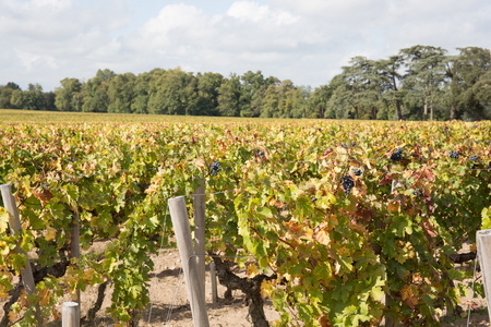 vine yards in bordeaux country at saint emilion grand cru