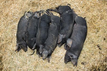 some black piglet lying in group in straw floor in farm