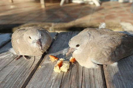 Turtle dove couple on bench wood garden Standard-Bild - 119396618