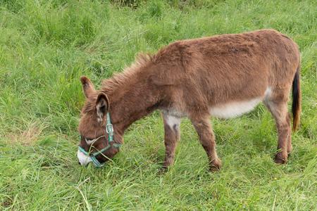 Cute donkey on ile de Re spring field