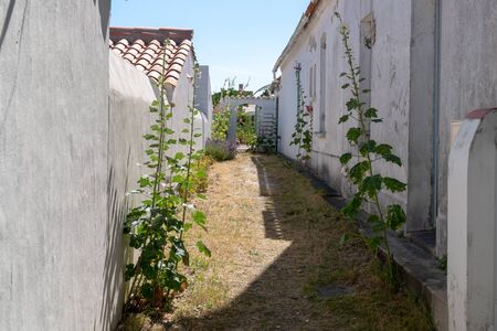 rose flowered alley on isle of Noirmoutier in vendee France