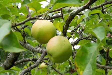 fresh ripe apple tree with green apples