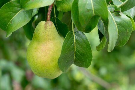 Fresh ripe pears on pear tree in fruit garden
