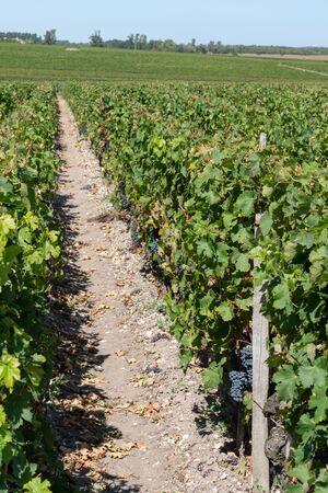 Grape vines at Château Margaux in the Bordeaux wine Médoc Stok Fotoğraf