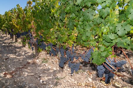 red green vineyard in Medoc Margaux Bordeaux France 스톡 콘텐츠