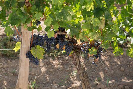red grape vine in saint emilion France Archivio Fotografico - 130160225