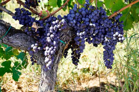 Bordeaux red grape vine in saint emilion France