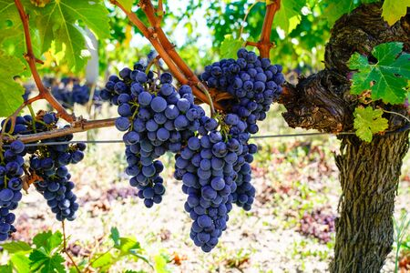 Bordeaux medoc Red Grapes on the Vine