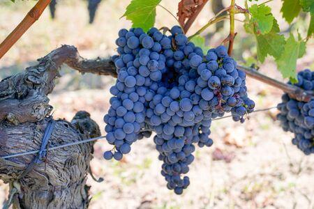 red black grapes wine in Bordeaux vineyard background grape harvest concept vine