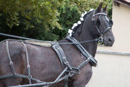 ceremonial horse mane for wedding day Banco de Imagens
