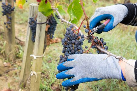 woman hands with scissors cutting grapes bunches in grape harvesting time