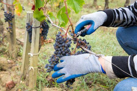 Man hands harvesting black grapes in the vineyard Bordeaux