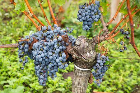 Ripe Cabernet grapes on vine growing in bordeaux vineyard