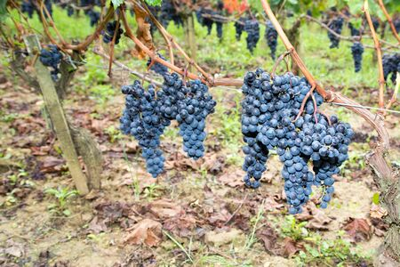 bunch of grapes harvesting time in Medoc Bordeaux wine Stok Fotoğraf
