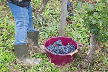 woman Cutting White Grapes from Vines in bordeaux vineyards