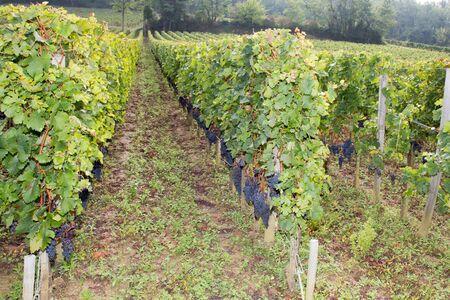 Vineyards of Saint Emilion Bordeaux France