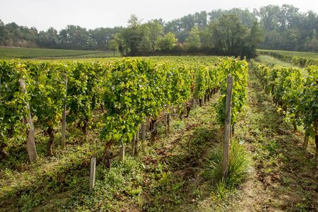 Vineyards of Saint Emilion harvesting time